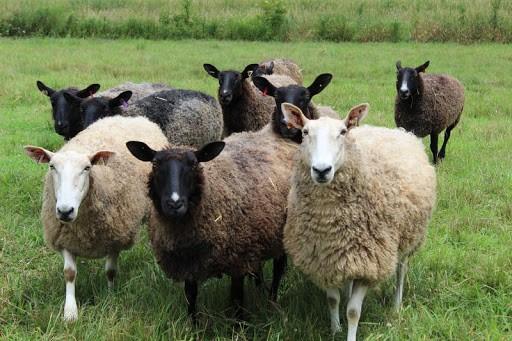 various colored sheep